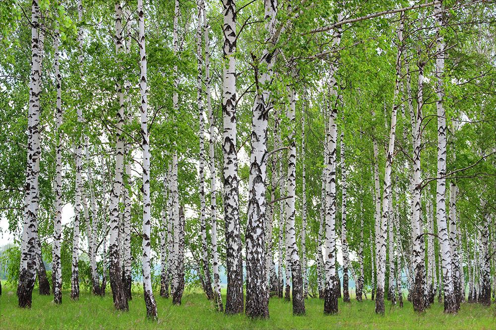Birkenblätter – Hilfe für Mensch und Tier